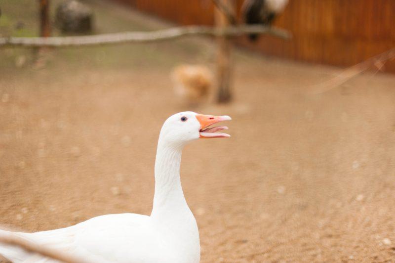 defiplanet, maison poule, odrai-scrapandphoto.fr